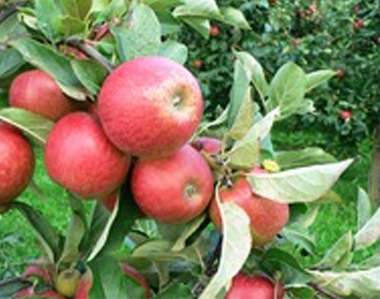 Der Apfel ist das ausgemachte Lieblingsobst der Deutschen.